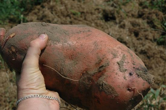 giant-sweet-potato